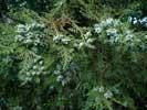 Растения Евпатории - туя