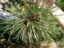 Растения Евпатории - сосна
