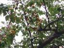 Фото Евпатории - абрикосовое дерево